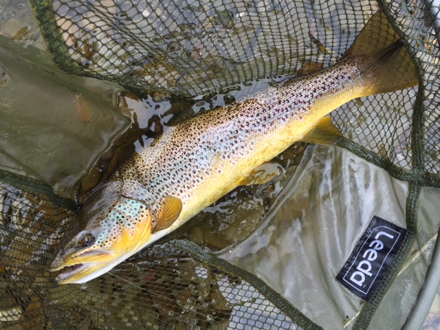 Brown Trout River Clyde